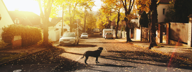 Dog looking down a quiet residential street